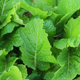 Florida Broadleaf Mustard Greens