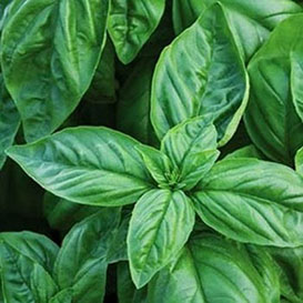 Basil Sweet Italian Large Leaf Herb