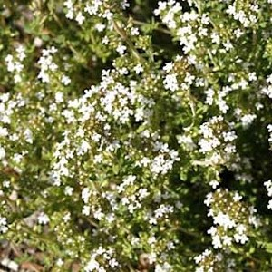 Thyme Winter Herb